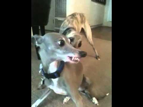 my babies. whippet Hank and italian greyhound Ryley. playing and talking :)