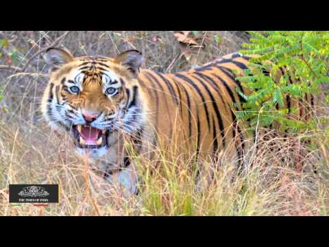 India's Tiger Population Increases by 30% in Past Three Years - TOI