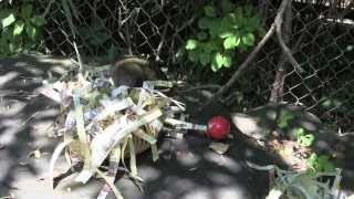 Kea parrot plays with toys