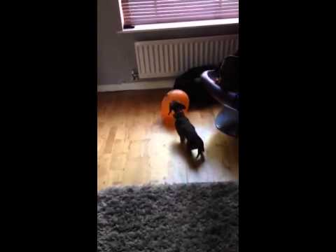Fenway the sausage dog puppy plays with a ballon.