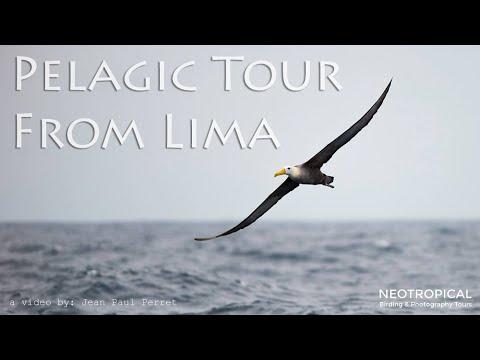 Pelagic Birding Tour in Lima