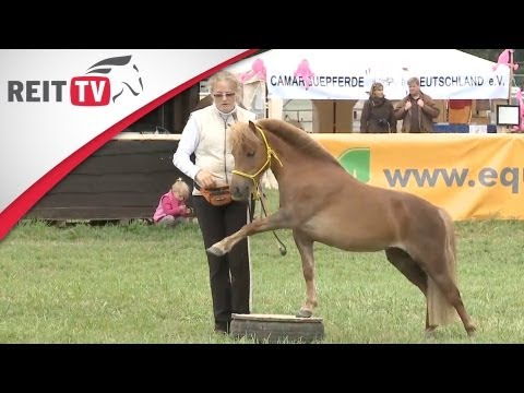 Shetty-Dressur auf der Equitana Open Air