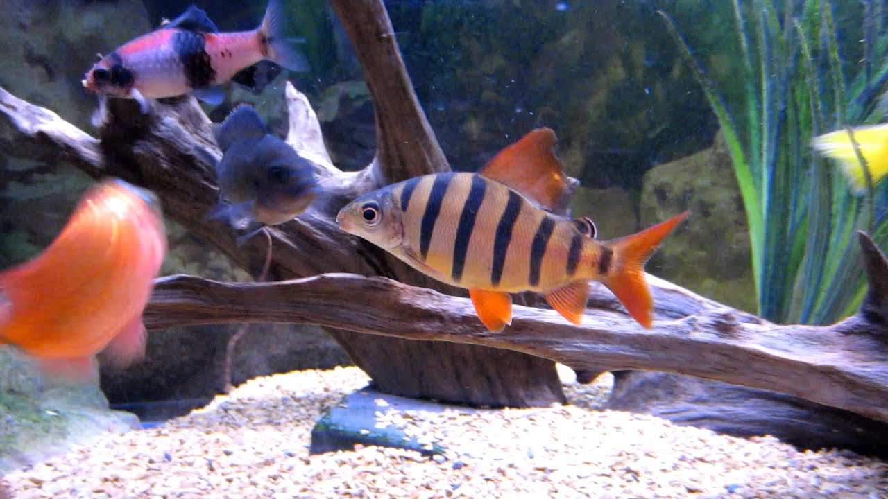 Distichodus sexfasciatus - 6 banded, 4 inch juvenile with my Africans ...