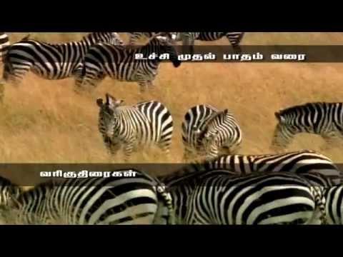 Award Winning Documentary - Zebra - amazing Life Of Animal Zebra