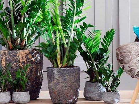 Как рассадить долларовое дерево в домашних условиях