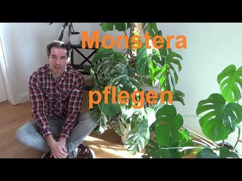 Monstera deliciosa Pflege   Monstera deliciosa Variegata pflegen gießen Standort Düngen Fensterblatt
