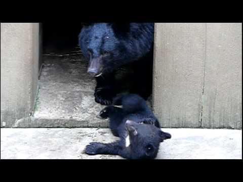 上野動物園のニホンツキノワグマの親子。Baby Japanese black bear and Mom.#02