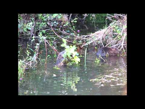 Young beavers on the river Otter