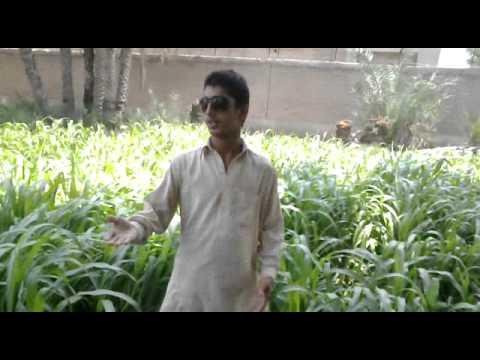Zamunga Malangi Da Oh Da Kuklo Badshahi Da Raees Bacha New Song video