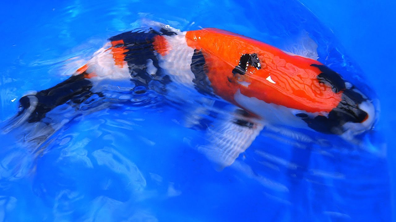 Quality japanese koi showa varieties old style vs new for Top japanese koi breeders