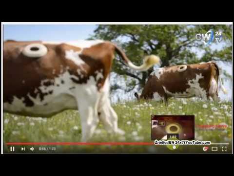 Szokujące Eksperymenty Na Krowach (źródło Kanał CW24TV)