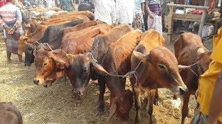 314| Line for selling calves | The cows that are sold in 30 thousand|Asia's largest cow-calf market