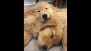 Sleepy Golden Retriever puppies will melt your heart!