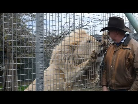 🔺 Angry Lion Want Very Much To Kill A Man #1080p 🔻