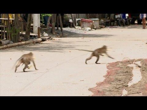 Monos que saquean casas