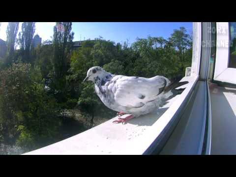 Голубь в окне на сайте rentaldj.ru.