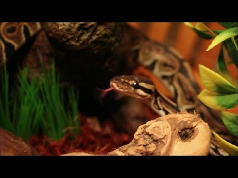 How to Set Up a Ball Python Enclosure + Meet Nagini!
