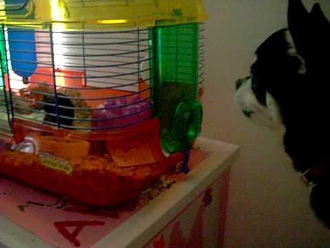 Funny Gerbil Menaces Dog video