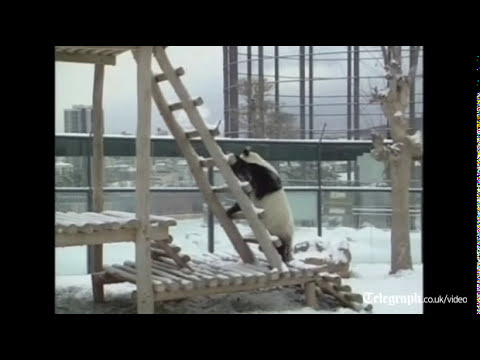 Giant pandas do somersaults in the snow in China