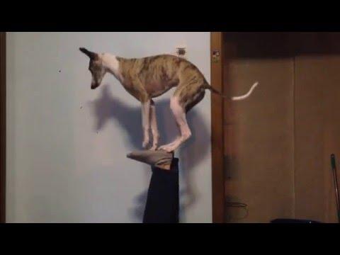犬の2本立ちバランストリック