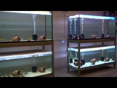 Tropheus balığı (akvaryumu,üretimhane)