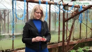 Pomidorų ir paprikų veislių ypatumai ir sodinimas į nuolatinę vietą | Augink lengviau!