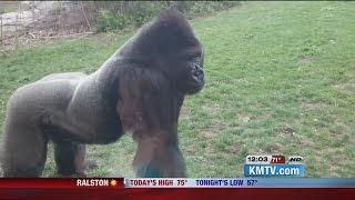 Gorilla breaks glass at Nebraska Zoo