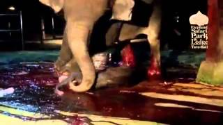 OLD SCHOOL ANIMAL CLIP: ELEPHANT IN BALI GIVING BIRTH.