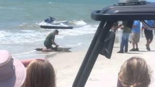 Alligator Caught On Fort Myers Beach - 4/15/16