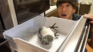【トミー絶叫】冷蔵庫開けたら大嫌いなハト死んでるドッキリww