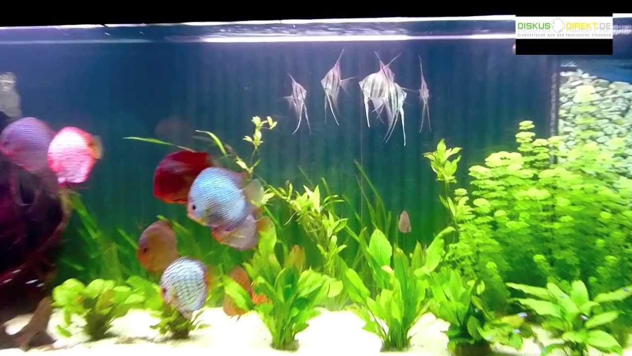 Altum und stendker diskus im liter aquarium youtube for Diskus aquarium
