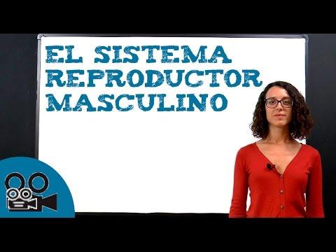 El sistema reproductor masculino thumbnail