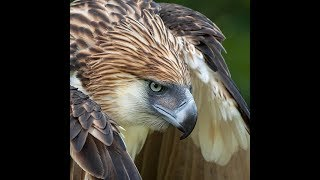 Haring Ibon, The Great Philippine Eagle by Alain Pascua