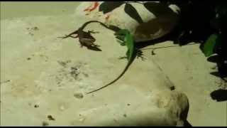 lizards fight green anole y bahama anole