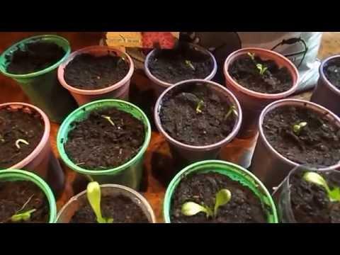 Выращивание георгинов из семян 907