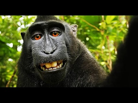 Who Owns a Monkey's Selfie? And a Song About Meningitis!