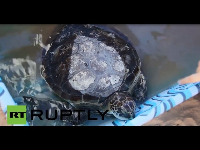 Uruguay: Tangled turtles released from 1,000 pounds of trash