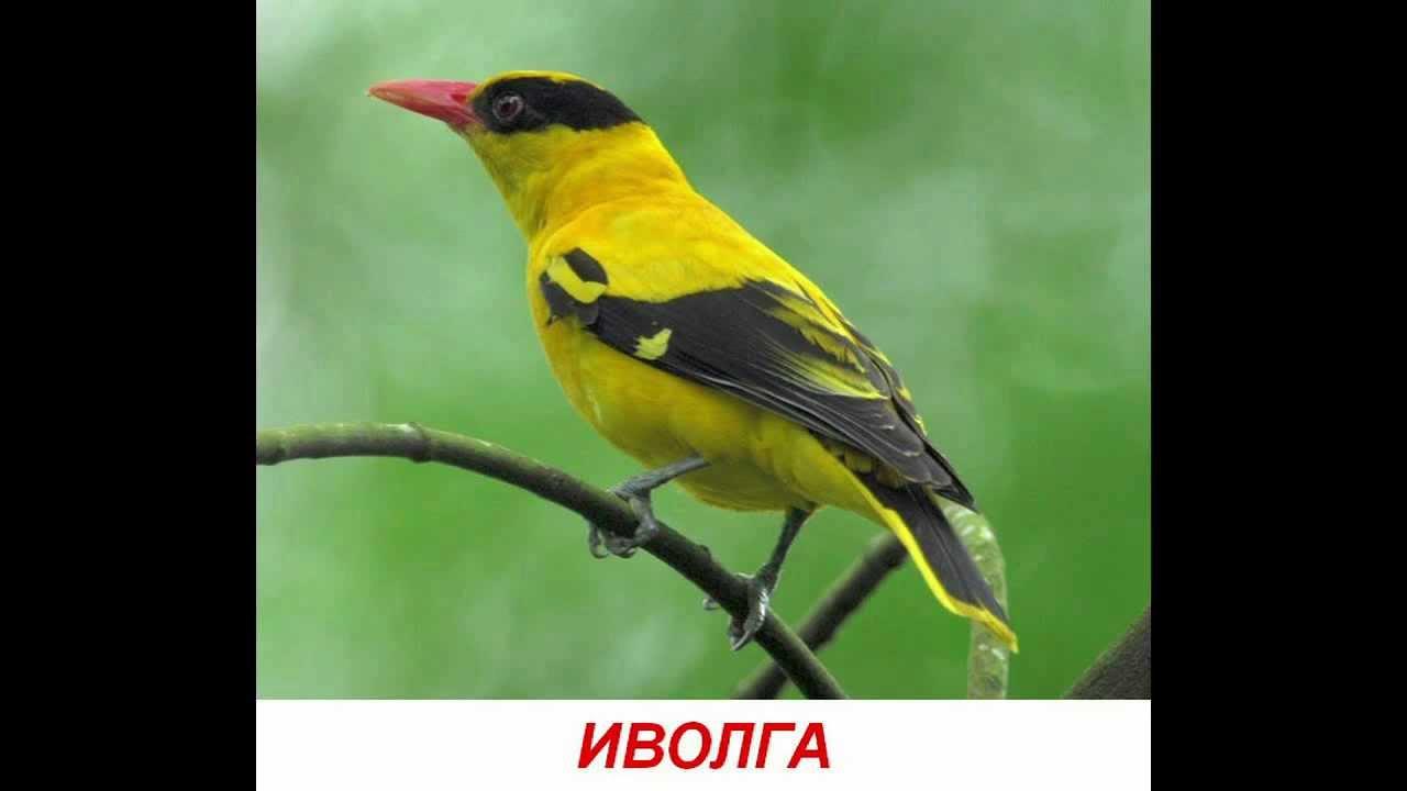видео про птиц кукушка