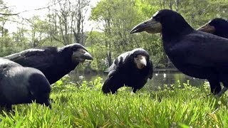 Entertainment Videos of Birds For Cats and Dogs To Watch - Rooks and Jackdaws 1