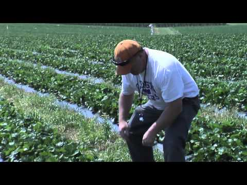 Strawberry Research at Clemson University
