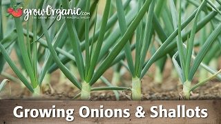 Growing Organic Onions, Leeks, and Shallots