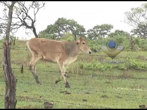 Bandidos furtam 60 gados da fazenda Douradinha