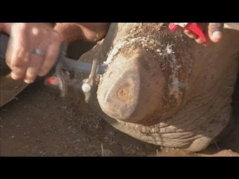 South Africa look to overturn global ban on rhino horn trade
