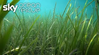 British seagrass could help tackle climate change