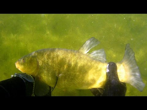 Polowanie Na Liny / Spearfishing Tench
