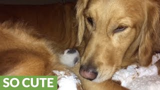 Dog loves her newborn kitten addition