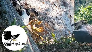 Harpy Eagle New prey at the Nest - HarpyCam#9