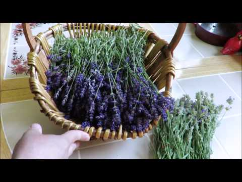 Tutorial How to Harvest and Dry Lavender