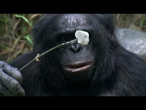 Crazy Smart Ape Lights Campfire, Roasts Marshmallows | The Real Apes of the Planet