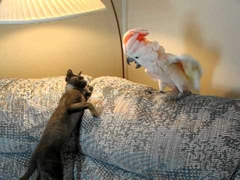Кот Тишка VS попугаиха Пебл: окончание боевых действий (cat vs parrot)